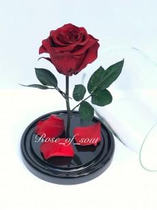 Бордовая мини-роза в колбе