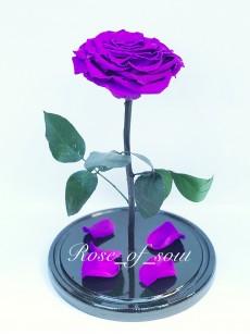 Фиолетовая кинг-роза в колбе