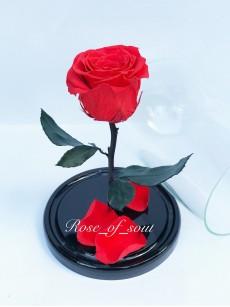 Коралловая мини-роза в колбе