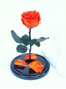 Оранжевая премиум-роза в колбе