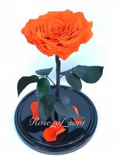 Оранжевая кинг-роза в колбе