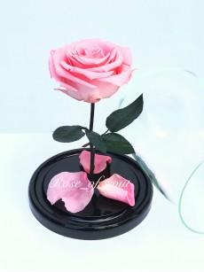 Розовая стандарт-роза в колбе